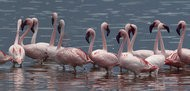 The Dance of  the Flamingo